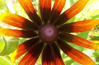 cosmic-daisy